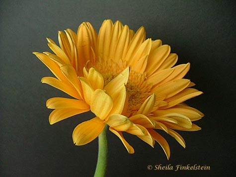 yellow Gerber Daisy 1