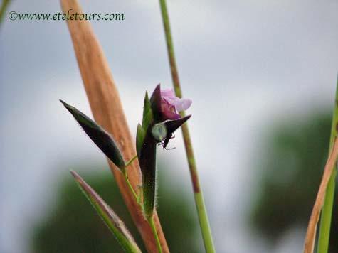 fireflag flower