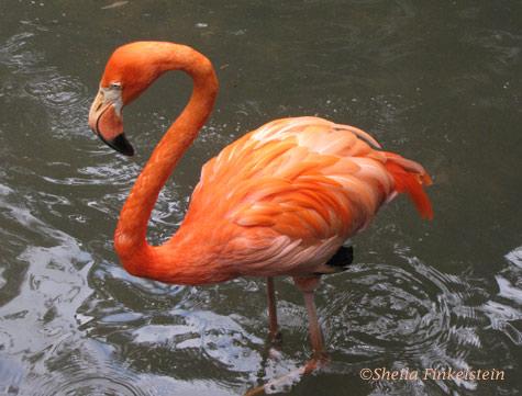 flamingo in Dreher Park Zoo, Palm Beach County Fl