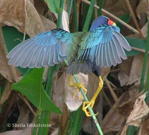 purple gallinule dances