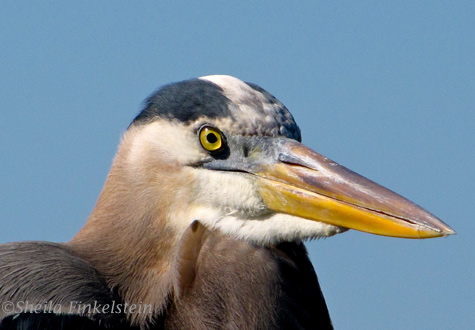 Great Blue Heron's stares