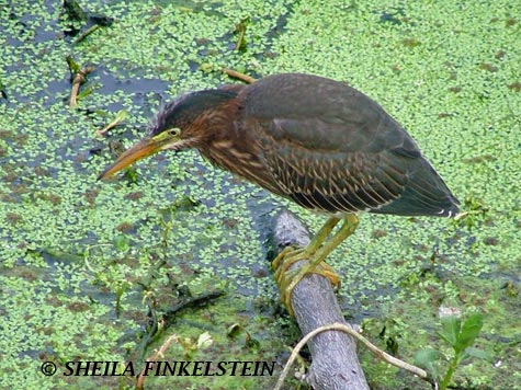 little green heron Seeing Everyday Things Newly   Shortcuts   Dont Miss Out   TYLN   vol 9 7