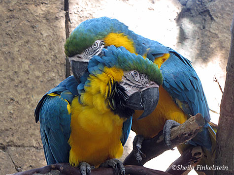 blue macaw pair in Dreher Park Zoo