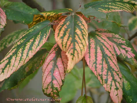 pink and green leaves