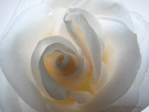 white rose with a glow for peace