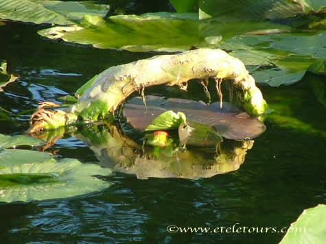 Spatterdock with face under root