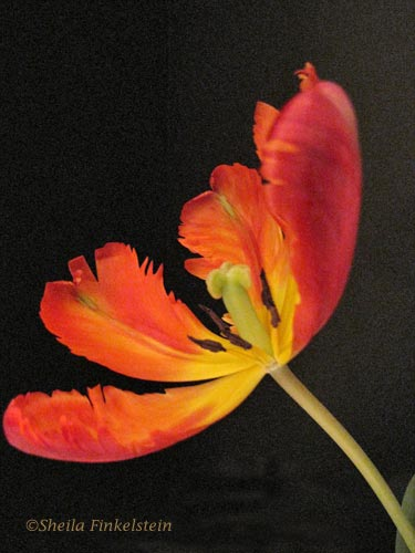 side view of tulip