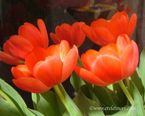 tulips dancing