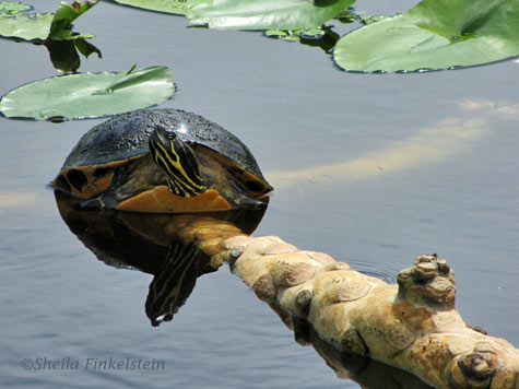 turtle on a Spatterdock root