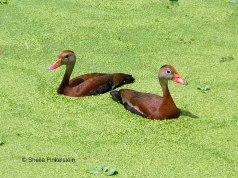 whistling ducks face opposite directions
