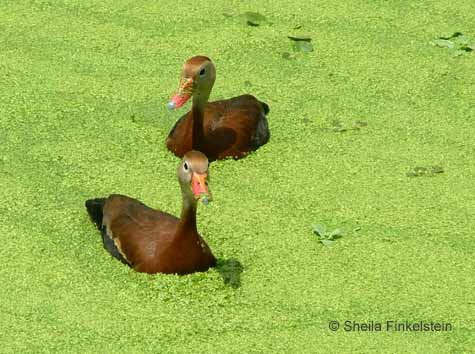 whistling duck in Green Cay Wetlands