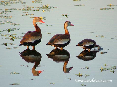 whistling ducks lit up by afternoon sunlight - with diving duck