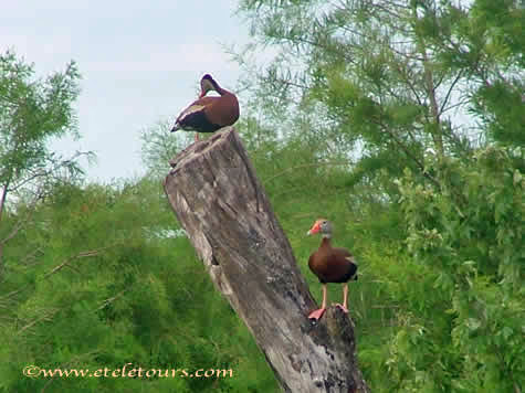 lit up whistling duck pair and diving duck